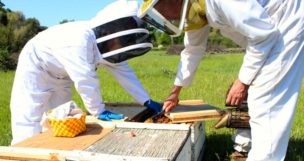 Fatima Lopez, left, and John Miller, owner of Miller Honey Farms, place baby queens in hives in April. (Photography Sena Christian)