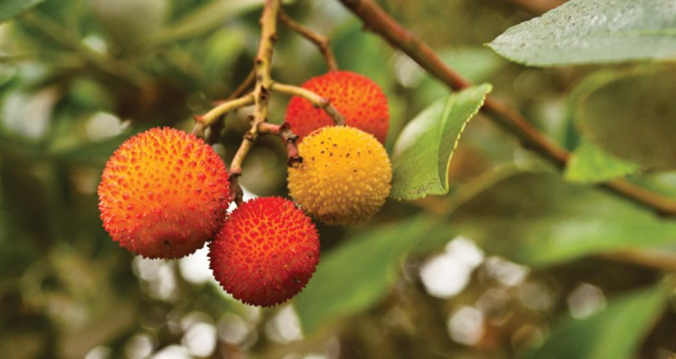 Does this fruit look familiar? It should, though you've likely never thought to eat it. This is the edible fruit of the strawberry tree, which are prolific in parks and neighborhoods around the Region.  (shutterstock)