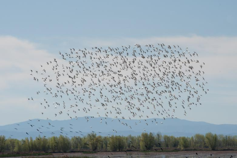 "A flock of Dunlin fly over ""pop up"" habitats in the Sacramento Valley