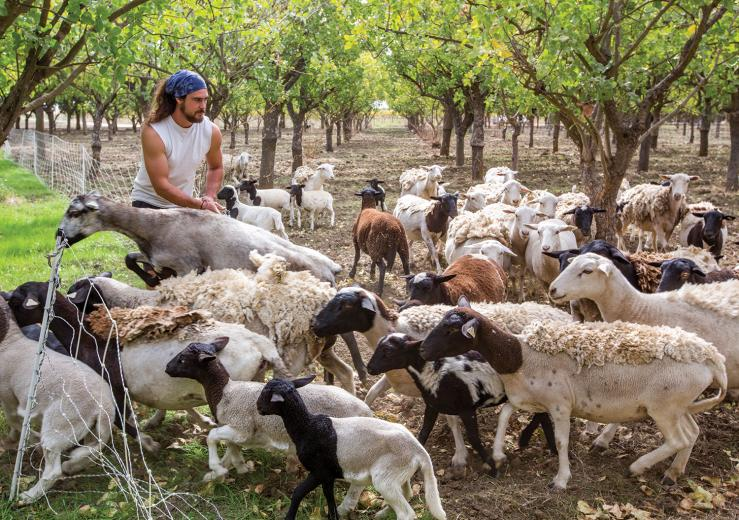 Jeremy Shepherd (the name came before the job) has been tending to his growing flock since 2009. He sells mutton to local markets but also works his herds as mobile mowers with local farmers in Yolo County.