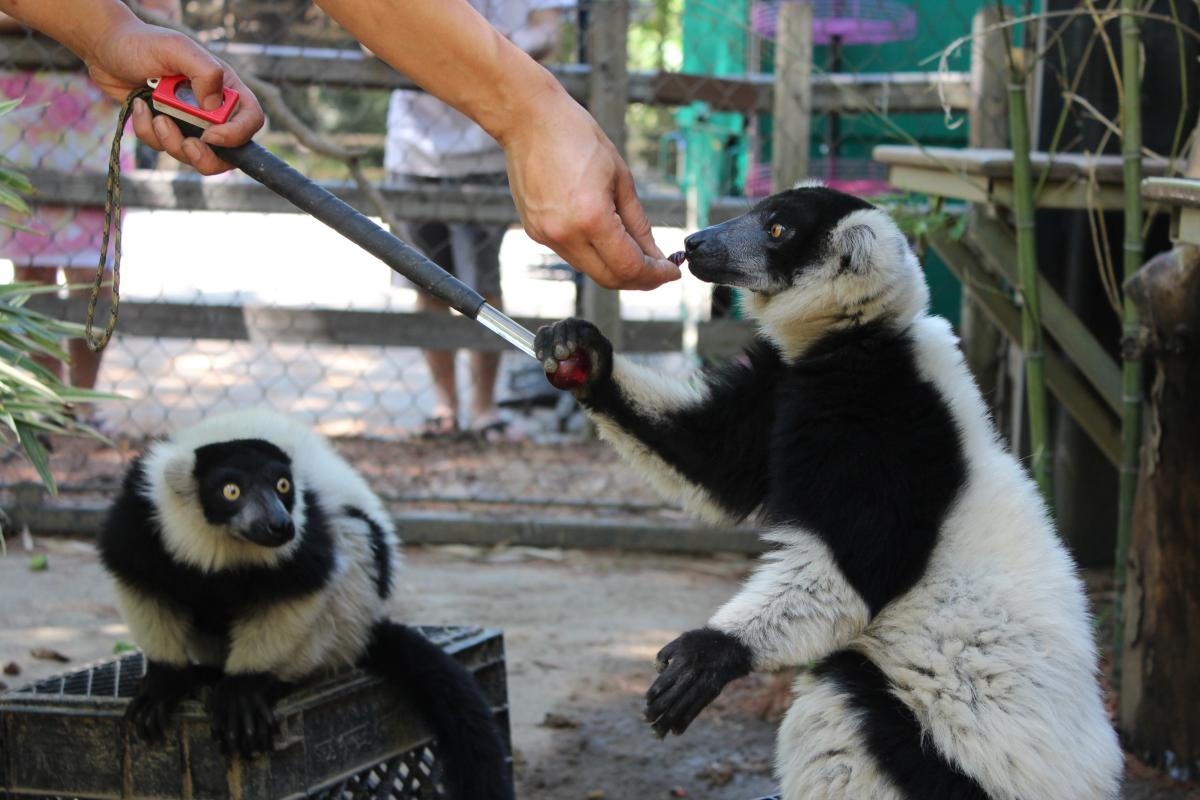 Sacr small animal orthopedics 98 two ruffed lemurs eat dried cranberries as a training reward fandeluxe Gallery