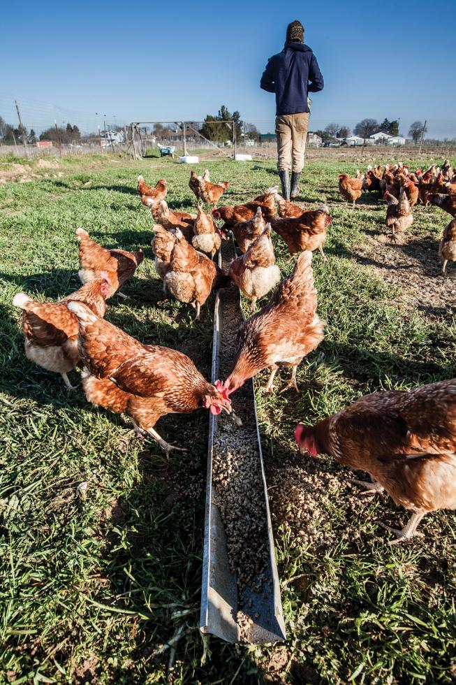 Chris Hay of Say Hay Farms gets his chickens from Vega Farms in Davis. They arrive at his farm only hours old. Say Hay Farms eggs are available at the Sacramento Natural Foods Co-op.