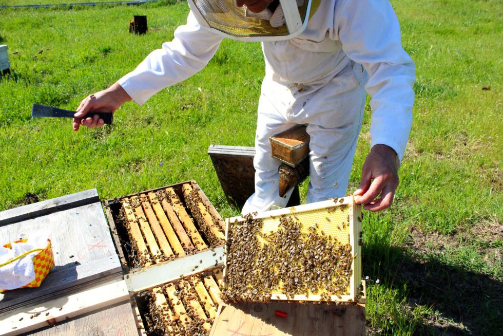 John Miller, owner of Miller Honey Farms, examines one of his hives at a bee yard in Placer County (Photography Sena Christian)