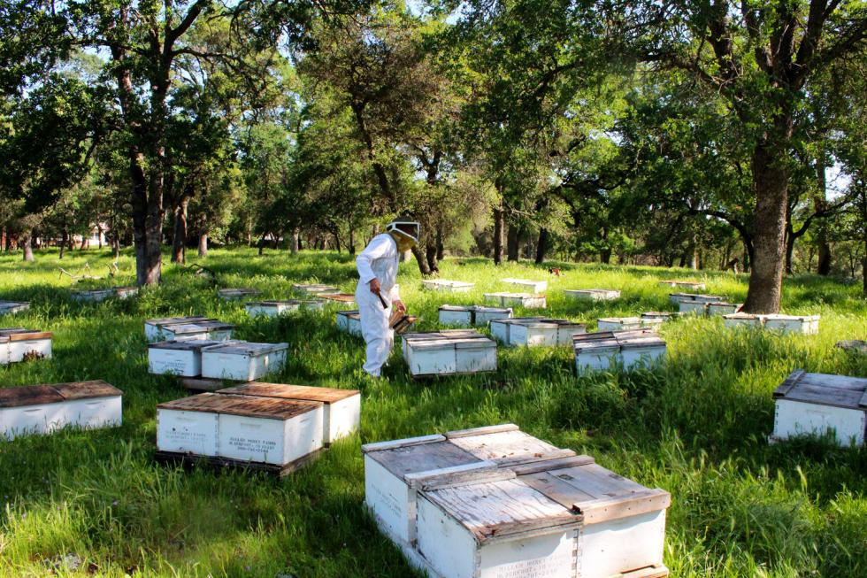 John Miller's company, Miller Honey Farms, places beehives on properties throughout Placer County in exchange for providing free pollination services and honey. (Photography Sena Christian)