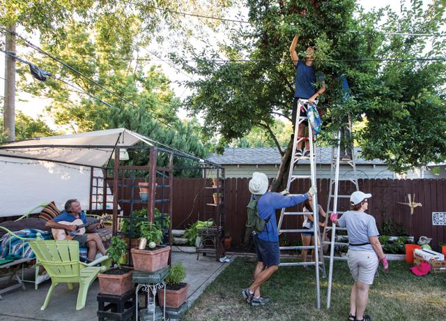 Volunteers from Harvest Tahoe Park glean an old plum tree in a neighborhood backyard.