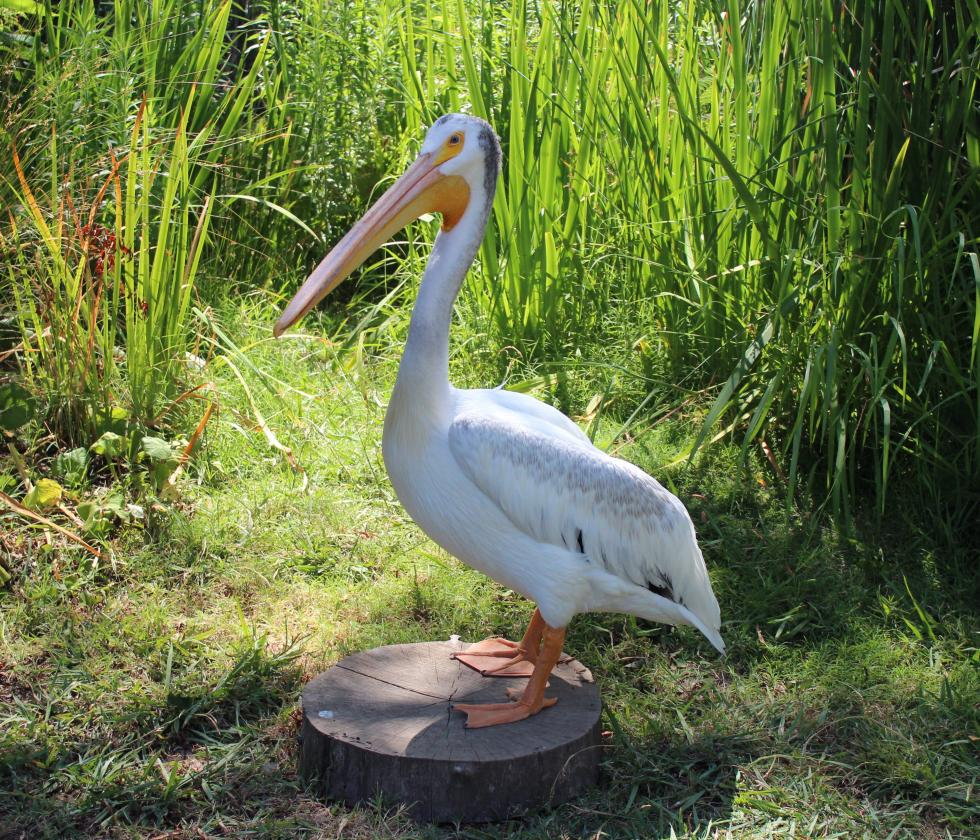 Zamboni, an American white pelican, was found missing a wing and wrapped in fishing wire in Montana.