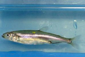 UC Davis Delta Smelt