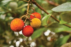 Does this fruit look familiar? It should, though you've likely never thought to eat it. This is the edible fruit of the strawberry tree, which are prolific in parks and neighborhoods around the Region.