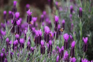 "Honeybees foraging on ""Anne's Purple"" Spanish lavender at the UC Davis Honey Bee Haven."