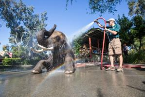 Valerie the African elephant is one of four pachyderms living at Six Flags Discovery Kingdom in Vallejo.
